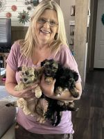 Morkie Puppies for sale in Fort Worth, TX, USA. price: NA