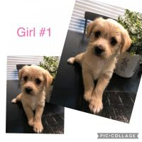 Morkie Puppies for sale in Corinth, TX, USA. price: NA