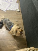 Morkie Puppies for sale in Chicago, IL, USA. price: NA