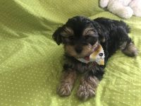 Morkie Puppies for sale in Clermont, FL, USA. price: NA