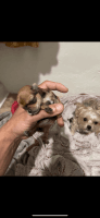 Morkie Puppies for sale in Albany, NY, USA. price: NA