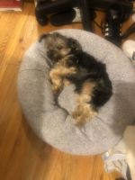 Morkie Puppies for sale in Jamaica, Queens, NY, USA. price: NA