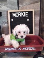 Morkie Puppies for sale in Guin, AL 35563, USA. price: NA