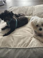 Morkie Puppies for sale in Stone Mountain, GA, USA. price: NA