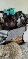 Morkie Puppies for sale in Minerva, OH 44657, USA. price: NA
