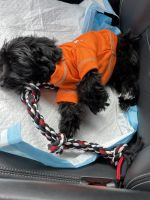 Morkie Puppies for sale in Orlando, FL, USA. price: NA