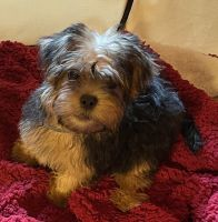Morkie Puppies for sale in Haddam, CT, USA. price: NA