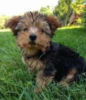 Morkie Puppies for sale in Cleveland, OH, USA. price: NA