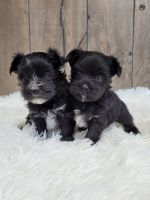 Morkie Puppies for sale in Middlebury, IN 46540, USA. price: NA