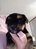 Morkie Puppies for sale in Kingsley, MI 49649, USA. price: NA