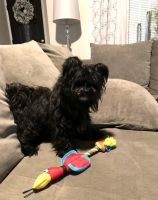 Morkie Puppies for sale in Louisville, KY, USA. price: NA