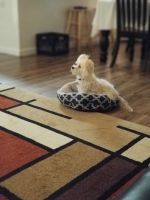 Morkie Puppies for sale in Hinesville, GA 31313, USA. price: NA