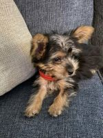 Morkie Puppies for sale in Fort Lauderdale, FL, USA. price: NA