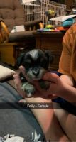 Morkie Puppies for sale in Ashley, MI 48806, USA. price: NA