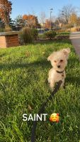 Morkie Puppies for sale in Lyndhurst, NJ, USA. price: NA