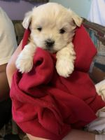 Morkie Puppies for sale in Stratford, CT, USA. price: NA