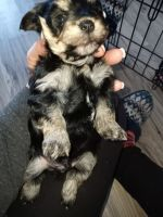 Morkie Puppies for sale in Rives Junction, MI 49277, USA. price: NA