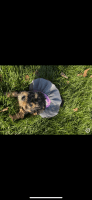 Morkie Puppies for sale in Indianapolis, IN, USA. price: NA