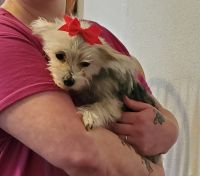 Morkie Puppies for sale in Beaver Dam, WI 53916, USA. price: NA