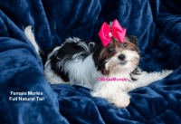 Morkie Puppies for sale in Barboursville, WV, USA. price: NA