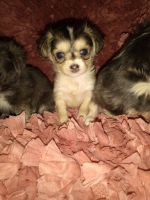 Morkie Puppies for sale in Hancock, MD 21750, USA. price: NA
