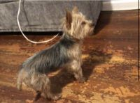 Morkie Puppies for sale in Jersey City, NJ, USA. price: NA