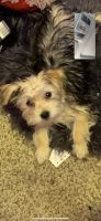 Morkie Puppies for sale in Independence, MO, USA. price: NA