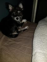 Morkie Puppies for sale in Cumming, GA, USA. price: NA