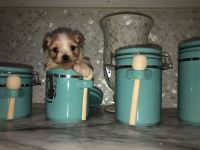Morkie Puppies for sale in Charleston, SC, USA. price: NA