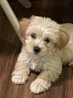 Morkie Puppies for sale in Fort Mill, SC, USA. price: NA