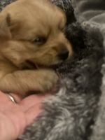 Morkie Puppies for sale in Claremont, NH, USA. price: NA