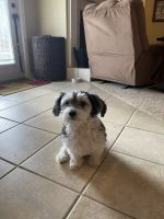 Morkie Puppies for sale in Milton, FL, USA. price: NA