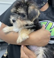 Morkie Puppies for sale in Jacksonville, FL, USA. price: NA