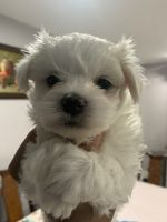 Morkie Puppies for sale in Miramar, FL, USA. price: NA