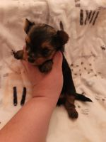 Morkie Puppies for sale in Gilbert, AZ, USA. price: NA