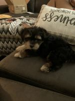 Morkie Puppies for sale in Loves Park, IL, USA. price: NA