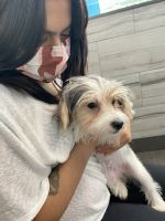 Morkie Puppies for sale in Westchester County, NY, USA. price: NA
