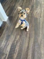 Morkie Puppies for sale in Alexandria, VA, USA. price: NA