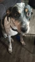 Mountain Cur Puppies for sale in 176 Smith Ave, Bowdon, GA 30108, USA. price: NA