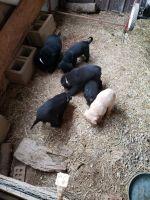 Mountain Cur Puppies for sale in Lexington, KY, USA. price: NA
