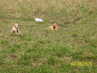 Mountain Feist Puppies Photos