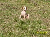 Mountain Feist Puppies for sale in AL-33, Moulton, AL, USA. price: NA