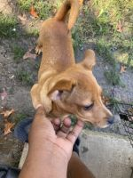 Mountain Feist Puppies for sale in 3229 Fairmeadow Dr, Horn Lake, MS 38637, USA. price: NA