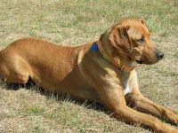 mountain view cur dog