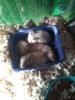 Mouse Rodents for sale in Tremont, MS 38876, USA. price: NA