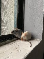 Mouse Rodents for sale in Anaheim, CA, USA. price: NA