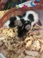 Mouse Rodents Photos