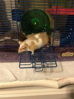 Mouse Rodents for sale in Bryant, AR, USA. price: NA
