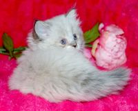 Munchkin Cats for sale in Lafayette, IN, USA. price: NA