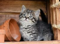 Munchkin Cats for sale in Berkeley, CA, USA. price: NA